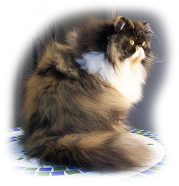 calico persian cat. I own four rescued cats,