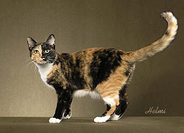 Black Mackerel Torbie with White