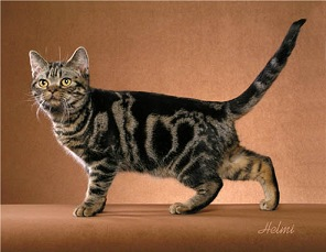 Brown Classic Tabby