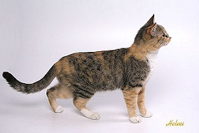 Brown Spotted Torbie with White
