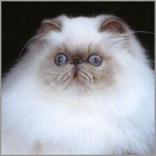 Lilac Point Himalayan Cat