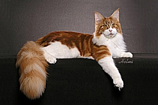 Red Classic Tabby with White