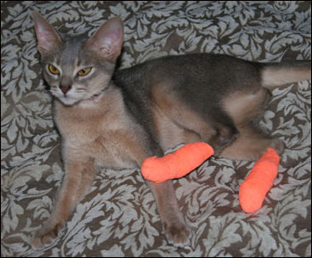 Over Grooming In An Abyssinian Cat