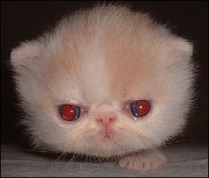 Himalayan cat red eyes