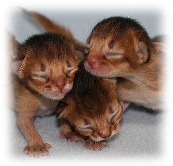 T Foetus In Cats