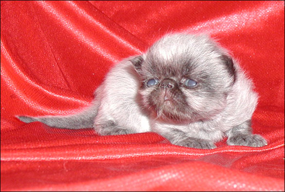 Pictorial Case History Of A Black Persian Kitten With