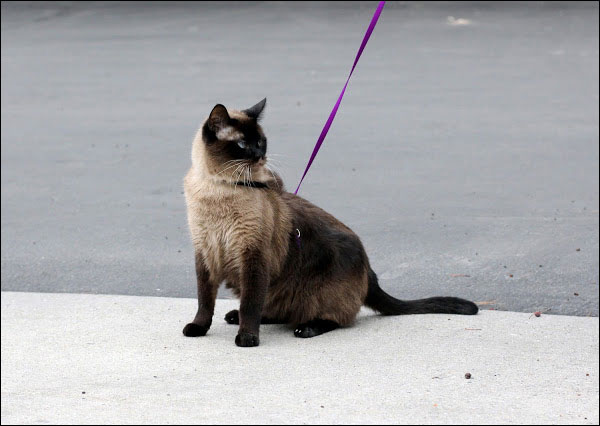 how to take cat on a walk