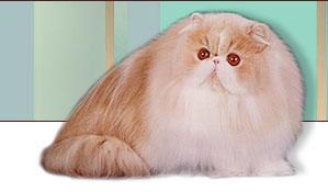 Exotic shorthair cat for sale virginia